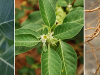 Ashwagandha Root, Leaves and Seed